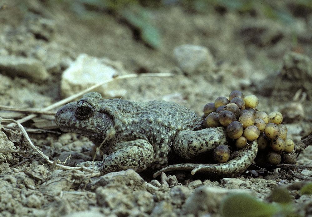 Alyte accoucheur (mâle portant la ponte de la femelle )