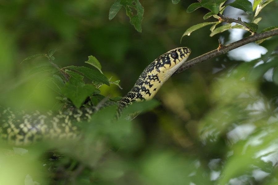 Couleuvre verte et jaune