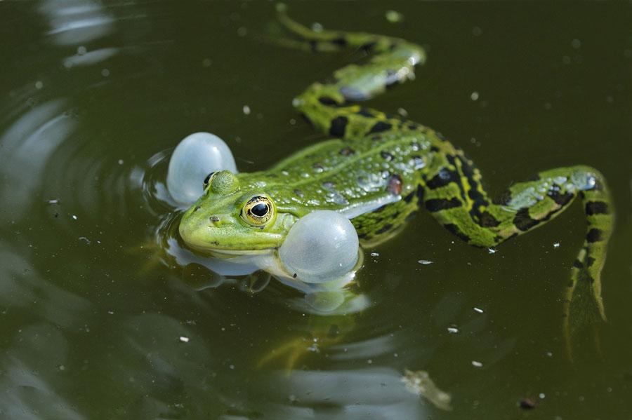 Grenouille verte (mâle au chant)