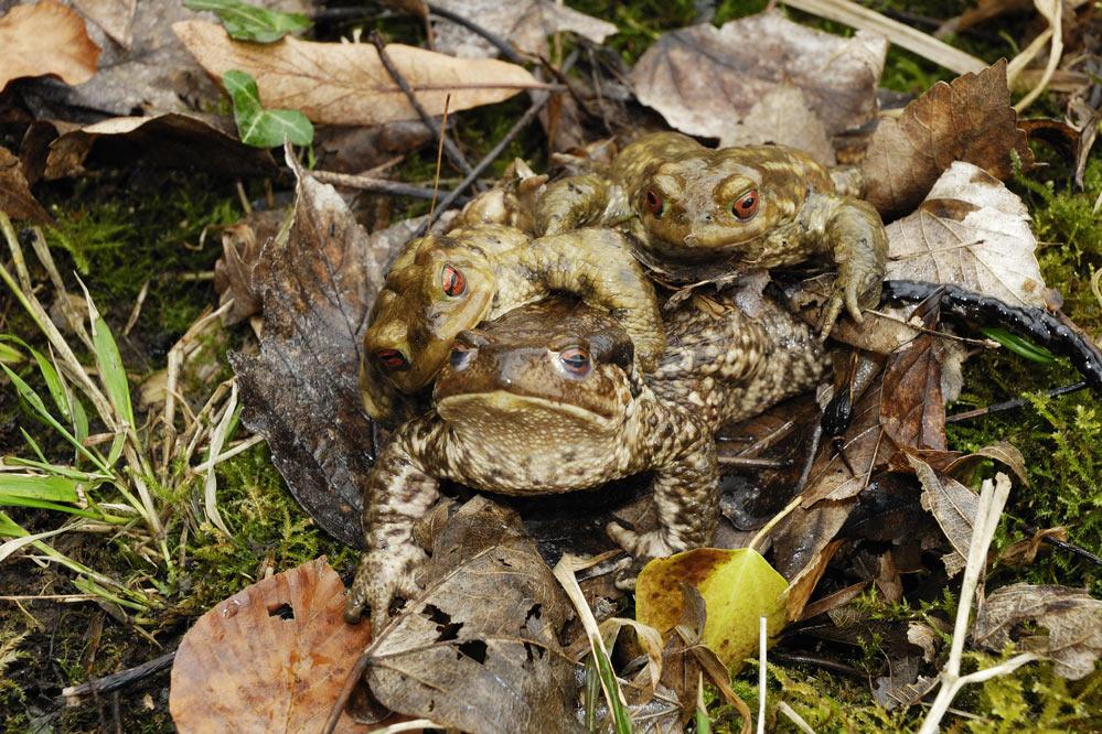 Crapaud commun (femelle avec deux mâles en amplexus)