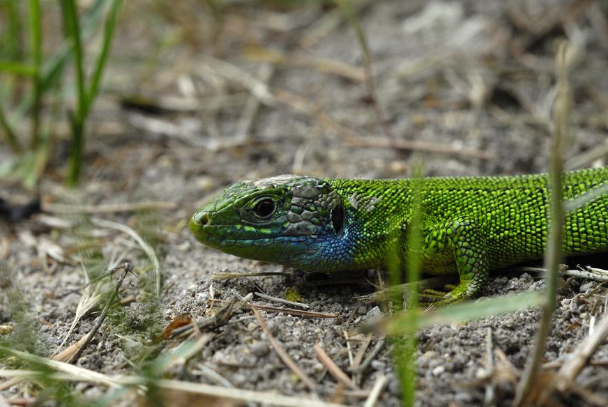 Lézard vert ( mâle en parure de noces )