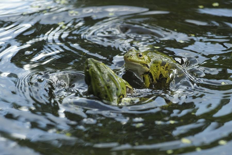 Bagarre de grenouilles vertes mâles