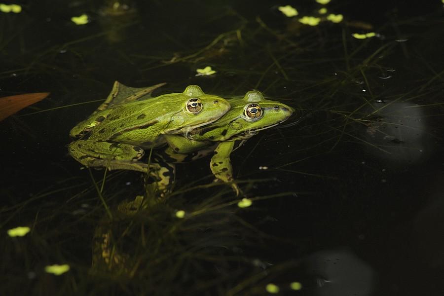 Acouplement grenouilles vertes ( amplexus axillaire )