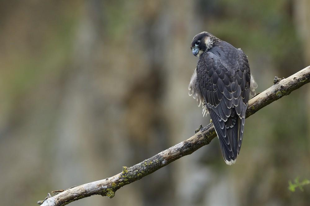 Faucon pélerin juvénile