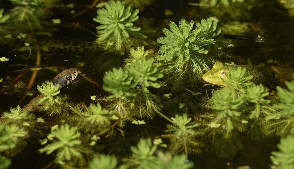 Couleuvre à collier face à une grenouille verte