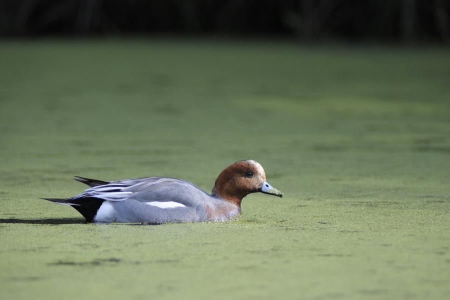 CANARD SIFFLEUR ( mâle )