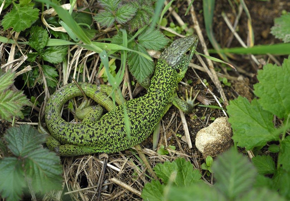 Lézard vert ( femelle bifide )