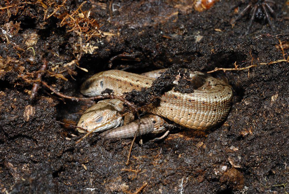 Lézards vivipares ( en hibernation dans le sol ).