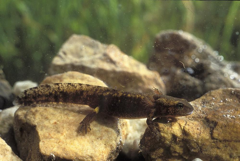 Salamandre tachetée ( larve aquatique)